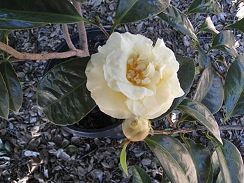 New Yellow Hybrid Camellias